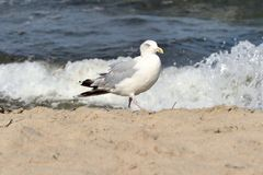 Seagull. A seagull is sitting at the coast of the baltic sea Stock Photo