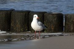 Seagull. A seagull is sitting at the coast of the baltic sea Royalty Free Stock Photo
