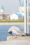 Seagull sitting on the concrete fence and looks at his feet. In the background of the church building, the water area of the Gulf Royalty Free Stock Photos