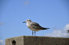 Seagull Sitting on a concrete ledge. A lone seagull rests on a concrete league with a blue sky in the background Stock Photography