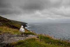 Seagull sitting on Dingle Penisula Royalty Free Stock Photos