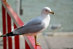 Seagull sitting on the docks Royalty Free Stock Photos