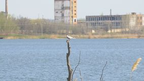 Seagull sitting on a dry tree. In front of an abandoned factory stock video footage