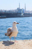Seagull sitting on the embankment near Galata Bridge, Istanbul . Stock Photos
