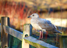 Seagull sitting on fence. In beautiful nature Stock Photos