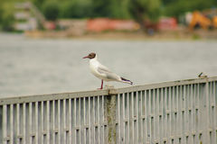 Seagull sitting on a fence close-up,. Cloudy sky Royalty Free Stock Photo