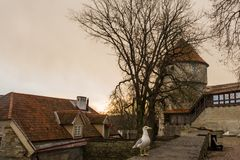 Seagull sitting on the fence. The Former Prison Tower Neitsitorn In Old Tallinn, Estonia. Ancient fortress wall and Maiden Tower.  royalty free stock photo
