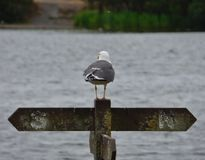 Seagull on fence post looking over pennington flash country park, photo taken in the UK mid summer royalty free stock images