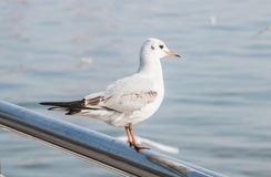Seagull sitting on the fence of the waterfront. Stock Photography