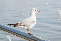 Seagull sitting on the fence of the waterfront. Stock Photo