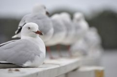 Seagull sitting in foreground Royalty Free Stock Photos