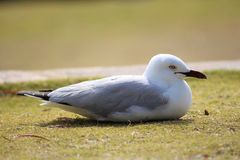 Seagull sitting on a grass field royalty free stock image