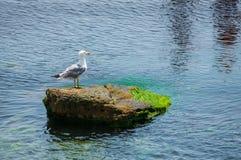 Seagull sitting on green rock in water near the Nesebar city, Bulgaria Royalty Free Stock Photos