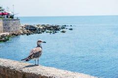 Seagull sitting on green rock in water near the Nesebar city, Bulgaria Stock Photos