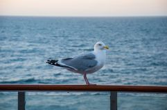 Seagull sitting on a guardrail. On a ferry Royalty Free Stock Photography