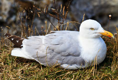 A seagull sitting in its nest Stock Photo