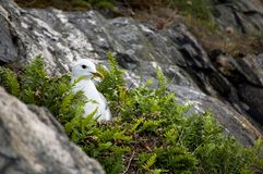 Seagull sitting in its nest stock image