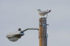 Seagull sitting on Light post Stock Photo
