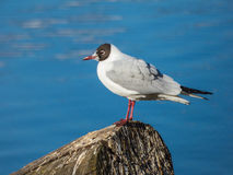 Seagull sitting on log on river. At Prague Royalty Free Stock Image