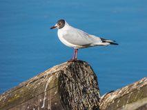Seagull sitting on log on river. Vlava at Prague Royalty Free Stock Photos