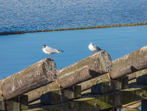 Seagull sitting on log on river. Seagull sitting on log on Vltava river Stock Photography