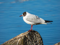 Seagull sitting on log on river. Seagull sitting on log on Vltava river Royalty Free Stock Images