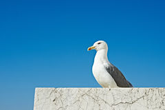 Seagull sitting on marble stone on blue sky Stock Photography