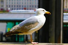 Seagull sitting next to the Thames in London. stock photography