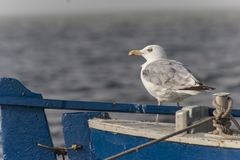Seagull by the sea, portrait. Stock Photos