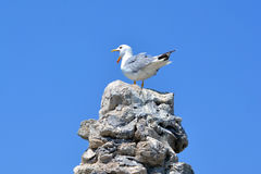 Seagull sitting on the old wall Stock Photos