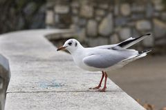Seagull. A seagull sitting on a pedestral Royalty Free Stock Images
