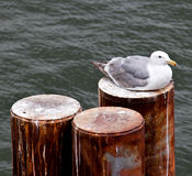 Seagull sitting on piling Stock Photo