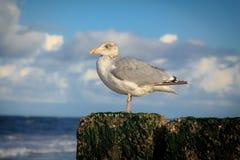 Seagull. Sitting on a pillar selective focus Royalty Free Stock Photos