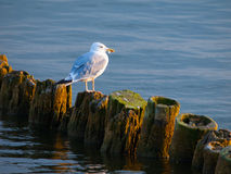Seagull sitting on a pillar Royalty Free Stock Images