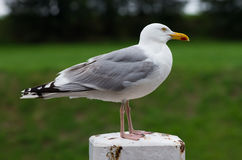 Seagull sitting on a pole Royalty Free Stock Images