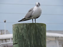 Seagull sitting on a post Stock Photo