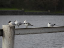 Seagull sitting on a railing by a river Stock Photography
