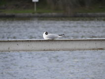 Seagull sitting on a railing by a river Royalty Free Stock Photography