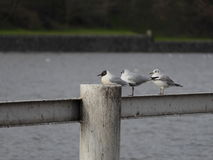 Seagull sitting on a railing by a river Stock Photos