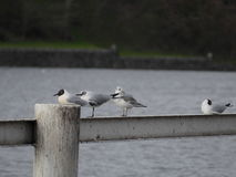 Seagull sitting on a railing by a river Royalty Free Stock Photos