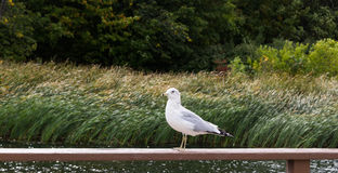 A seagull sitting on railing. A seagull sitting on railing on small lake Royalty Free Stock Photo