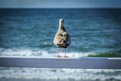 Seagull. Sitting on a railing staring at the sea  selective focus Royalty Free Stock Photos