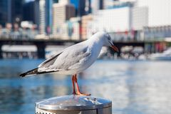 Seagull Sitting by Darling Harbour in Sydney. Seagull sitting on the recycle bin at the Darling Harbour in Sydney Stock Photography