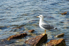 Seagull sitting on a rock Royalty Free Stock Image