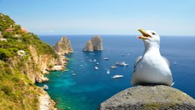 Seagull sitting on a rock, at the background Faraglioni rocks. Italy. Stock Photography