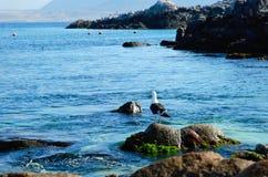 Seagull sitting on a rock at Bahia Inglesa Royalty Free Stock Photos