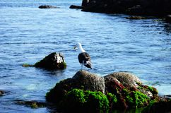 Seagull sitting on a rock at Bahia Inglesa Stock Photography