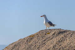 Seagull sitting on a rock Stock Images
