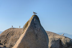 Seagull sitting on a rock Royalty Free Stock Photography