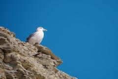 Seagull sitting on a rock near the sea. White Seagull sitting on a rock near the sea Stock Photography